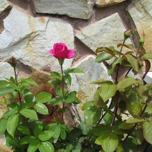 Rosa bonita en jardin de Casa Saleros, Navarrete, La Rioja